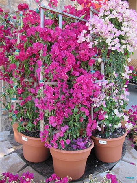 how to grow and care for the bougainvillea plant in containers gardening