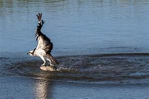 Osprey fishing - Ray Brown Wildlife Photography | Ray ...
