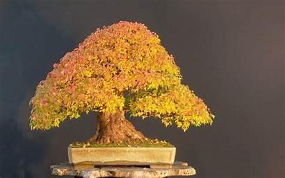 Bonsai Tree Wallpapers Cool Background Desktop Windows