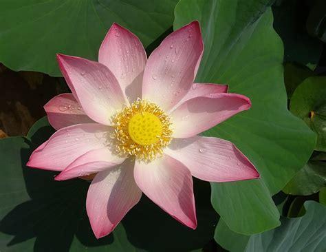 fior di loto fior di loto coltivazione