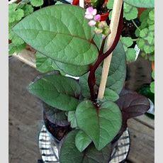 100 Nutritious Ornamentaledible Climbing Malabar Spinach