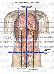 Abdominal Lines And Planes Anterior View  U2014 Medical Art Works