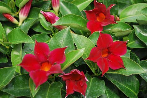 Mandevilla - Fotos e Planta | Flores - Cultura Mix