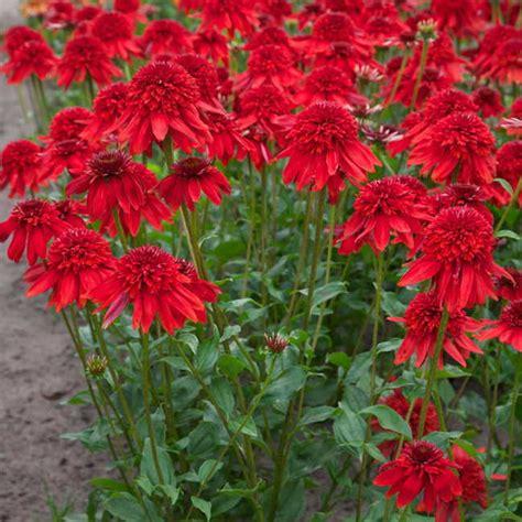 echinacea eccentric  wayside gardens