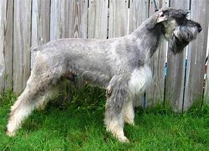 White Giant Schnauzer Dog