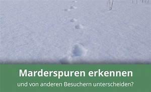 Marder Dachboden Geräusche : marderspuren erkennen und verstehen infos tipps ~ Eleganceandgraceweddings.com Haus und Dekorationen