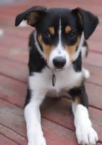 Smooth Coat Border Collie Puppies
