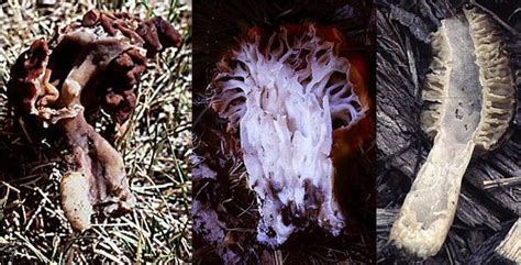 le gyromitre comestible gyromitra esculenta