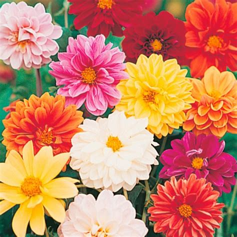 Como Plantar Dália Anã   Flores - Cultura Mix