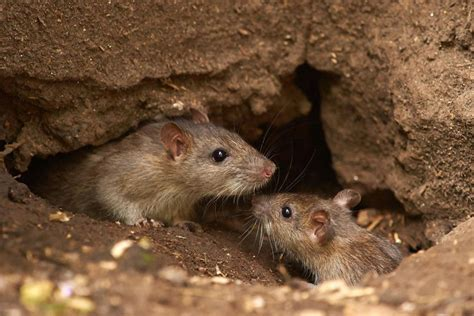 difference between mice and rats how to tell the difference between rats and mice