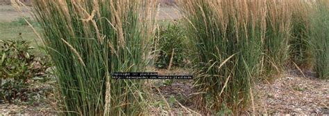 Feather Reed Grass, Feather Reed Grass Calamagrostis