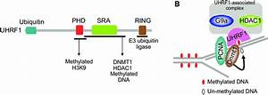 Functions Of Uhrf1 During Dna Replication   A  Schematic