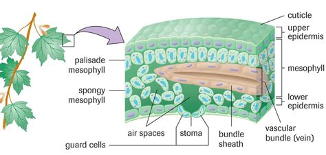 6 best images of structures of photosynthesis diagram