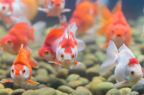 aquarium ab wann fische einsetzen der richtige fischbesatz f 252 r ein aquarium haustier