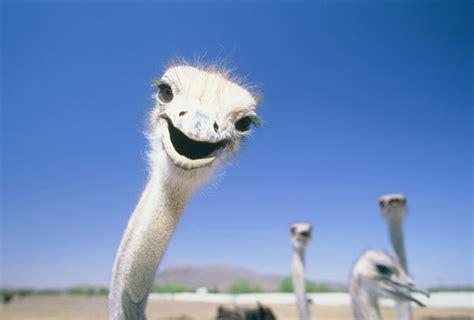 ostrich festival  chandler arizona