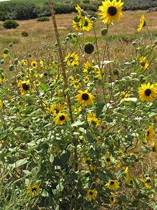 Southwest Colorado Wildflowers, Helianthus annuus