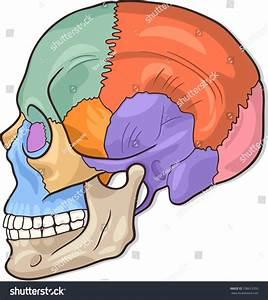 Medical Illustration Of Human Skull Bones Graphic Diagram