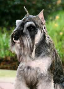 Schnauzer Shed by Faqs