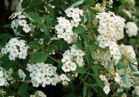 white flowering shrubs spiraea alpine spring flower white flowering shrub stock photo colourbox