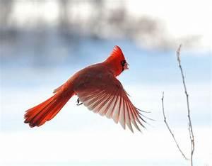 Northern Cardinal in Flight | Birds | Pinterest