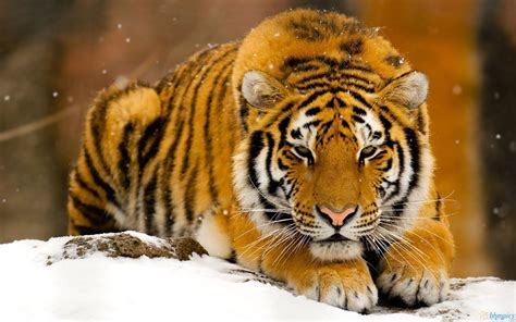 Tiger Wallpapers Free Best