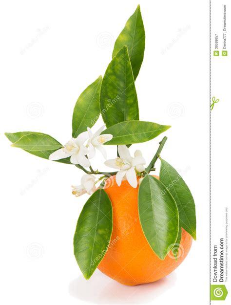 Orange Stock Image Fruit Pistil Group Leaf