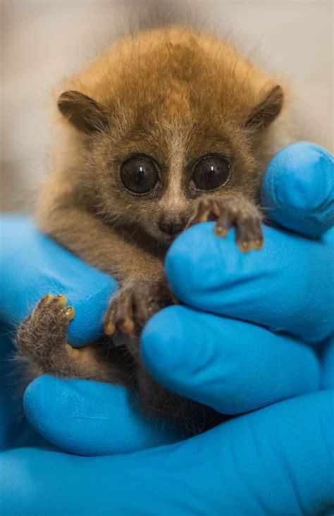 slow loris baby pygmy cleveland zooborns