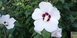 Taille De L Hibiscus : taille de l 39 althea quand et comment faire jardipartage ~ Melissatoandfro.com Idées de Décoration