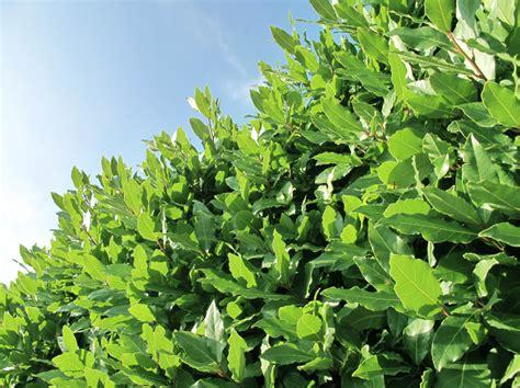 Lorbeerhecke Pflanzen » Alle Tipps Auf Einen Blick