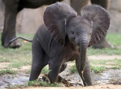 Sweet Animals Wallpaper - sweet baby elephants animals background wallpapers on