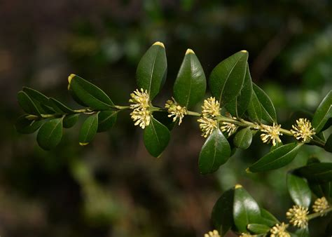 Datei:Buxus sempervirens AWikipedia