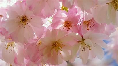 Blossom Cherry Japanese 4k Chromebook Desktop Wallpapers
