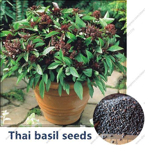 where to buy basil plants online buy wholesale thai basil seed from china thai basil seed wholesalers aliexpress com