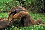 Anteater | mammal | Britannica
