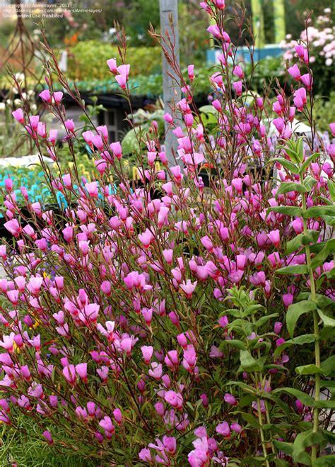 Plantfiles Pictures Godetia, Farewelltospring, Satin