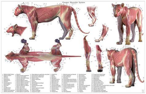 cougar anatomy chart juns anatomy