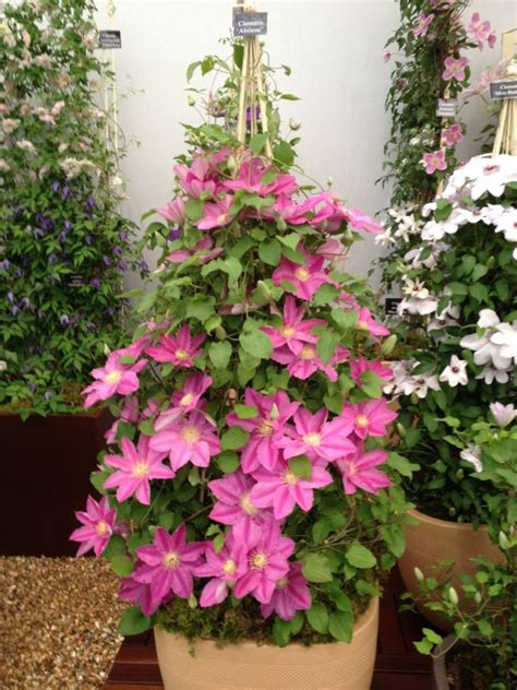 can i plant clematis in a pot top 10 tips on growing gorgeous clematis vines top inspired