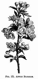 apple blossom clip art, flowering tree branch, apple ...