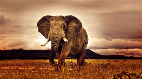 Elefant Hd Wallpaper