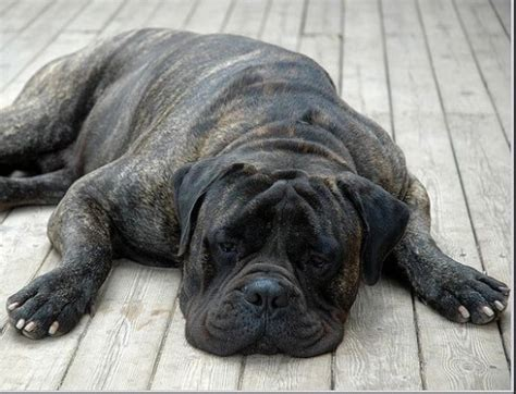 Do Bullmastiff Dogs Shed A Lot by The Bullmastiff A Large Watchdog That Guards But Does Not