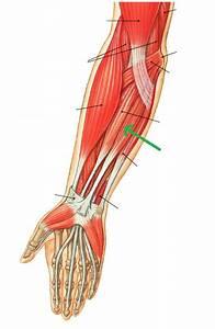 Anatomy & Physiology 1521 > Baviskar > Flashcards > Lab 14 ...
