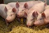 Scientists created 'super pigs' resistant to deadly infection