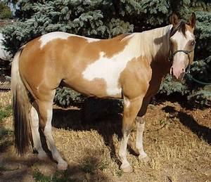 Buckskin paint horse