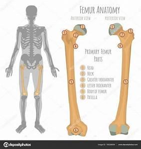 Male Hip Bone Anatomy  U2014 Stock Vector  U00a9 Annyart  180358054