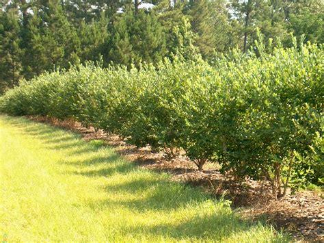 berry shrubs buy goji berry plant sale on goji berry shrubs the planting tree