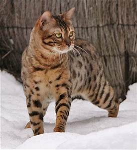 17 Best images about Bengal Cats on Pinterest | Cats ...