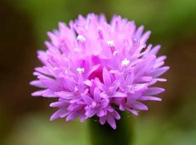 manfaat  khasiat daun tempuh wiyang  kesehatan