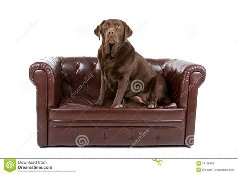 labrador dog  leather couch stock  image