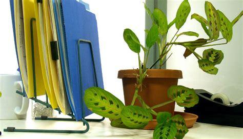 piante ufficio piante da ufficio 10 piante da ufficio per migliorare l