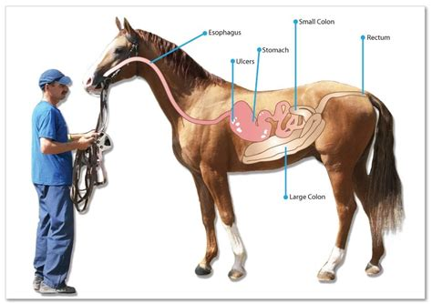 horse supplements ulcer horses ulcers gastric equine introduce want they ron fields natural